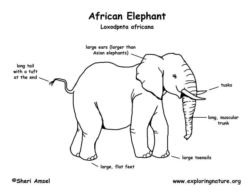 elephant_African_bw150